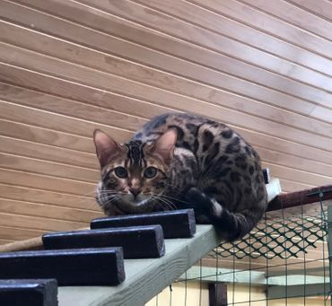 Bengal kittens for sale in pa